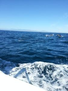 Dolphins fishing