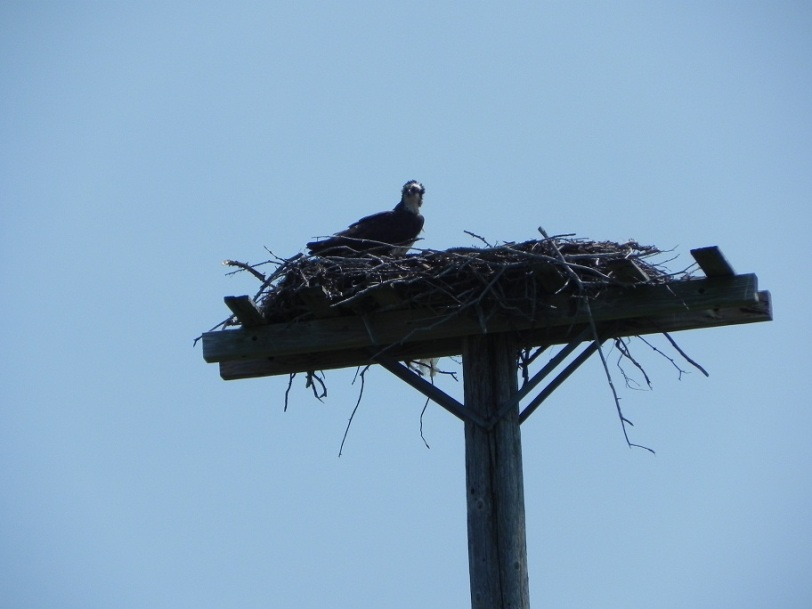 osprey on the way to Miscou