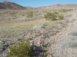 blooms in death valley 2
