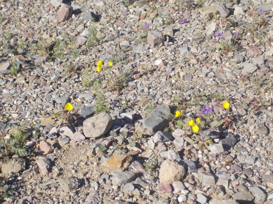 blooms in death valley