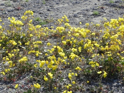 death valley blooms day 2