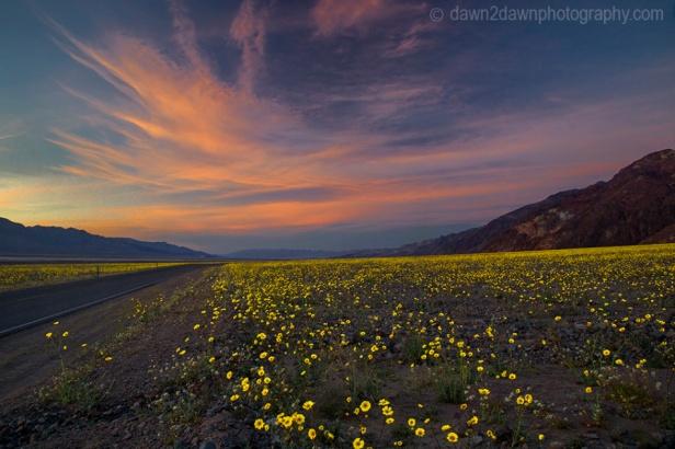 Death Valley Wild Flowers Bloom