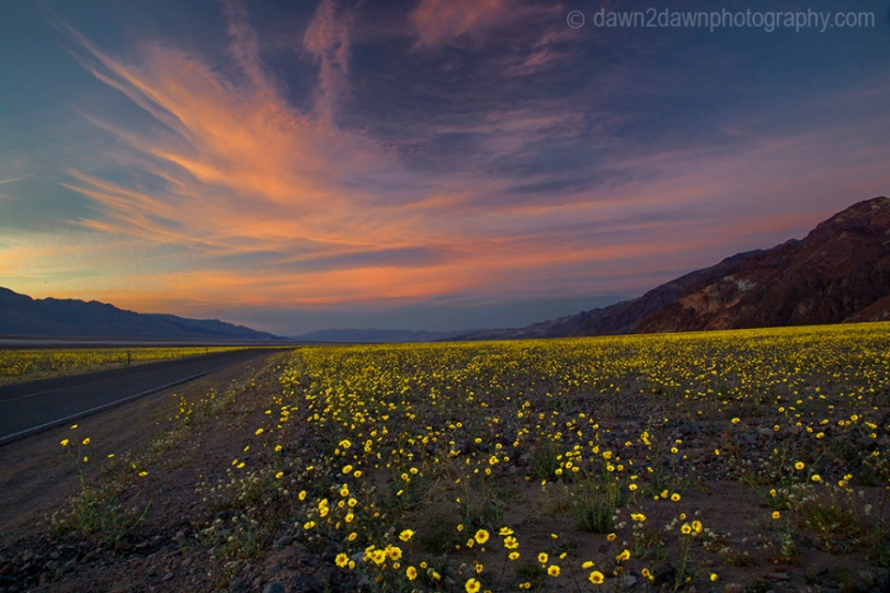 Death Valley Wild Flowers Bloom