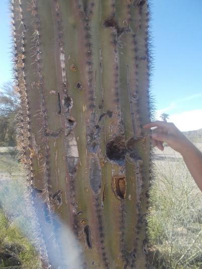 saguaro cacti closeup