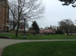 Cherry trees in bloom in Victoria