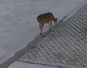 key deer2