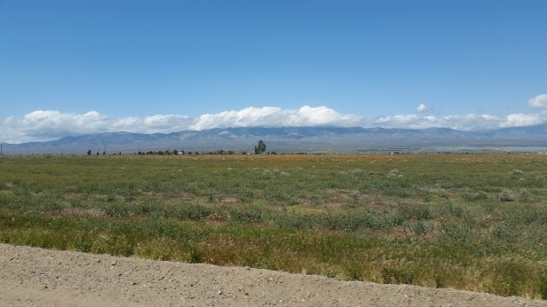 california poppies north of LA county