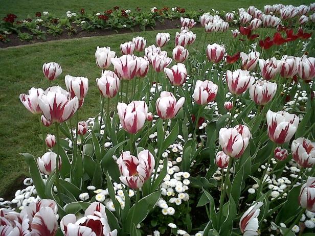 Canada tulips Victoria