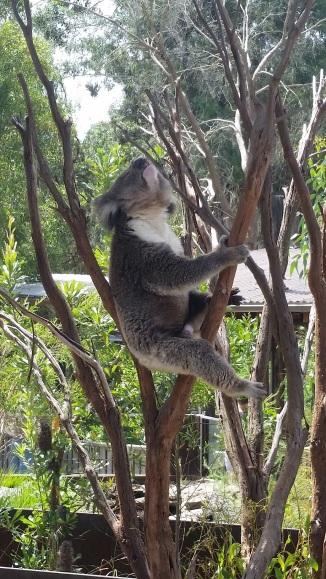 Bellowing Koala
