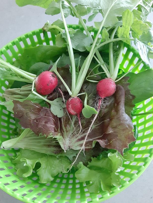fresh lettuces, radishes